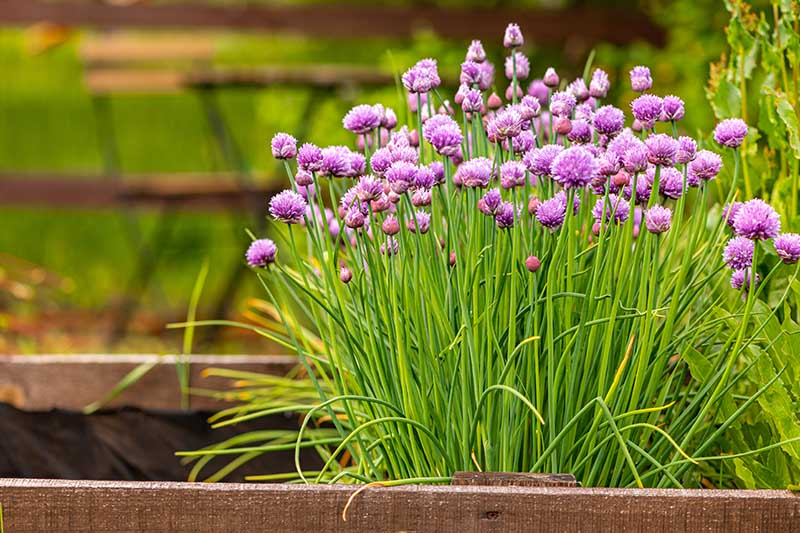 A close up of Allium schoenoprasum growing in a wooden container with purple flowers and upright green stalks.