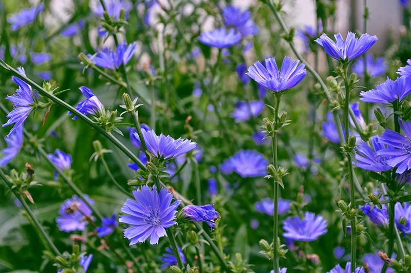 A collection of bright blue Cichorium intybus flowers growing in the summer garden.