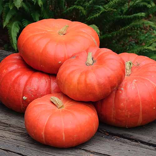 A close up of a pile of 'Cinderella' pumpkins, with bright orange flesh, set on a wooden surface with foliage in soft focus in the background.