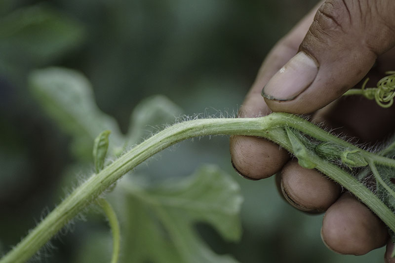 A close up of a hand from the right of the frame holding a light green vine and inspecting for insect damage, pictured on a soft focus background.