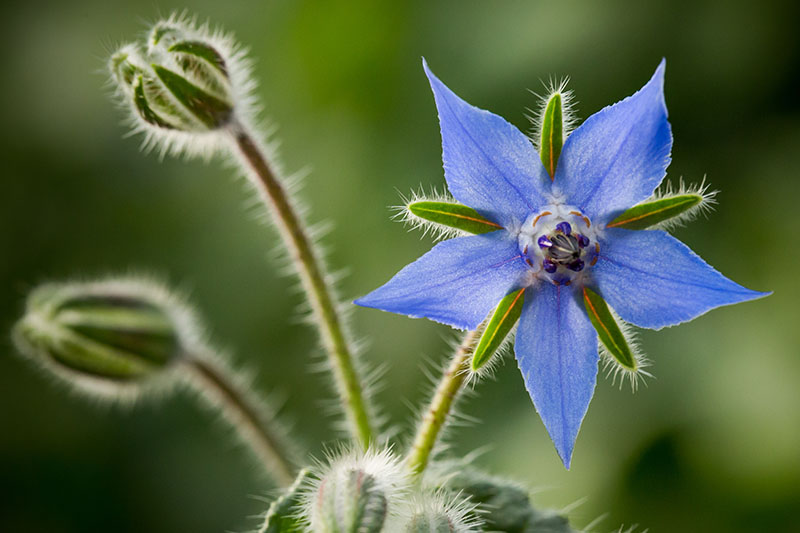 A close up of a blue, star-shaped Borago officinalis flower with two buds in soft focus in the background.