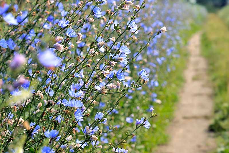A hedge of Cichorium intybus growing to the side of a path, pictured in bright sunshine.