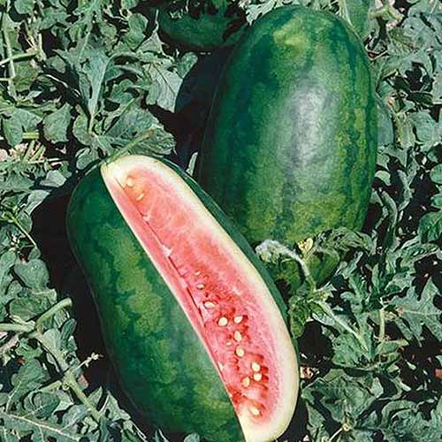 A close up, square image of a 'Congo' watermelon with a large section cut out of it to display the red flesh, contrasting with the dark green skin.