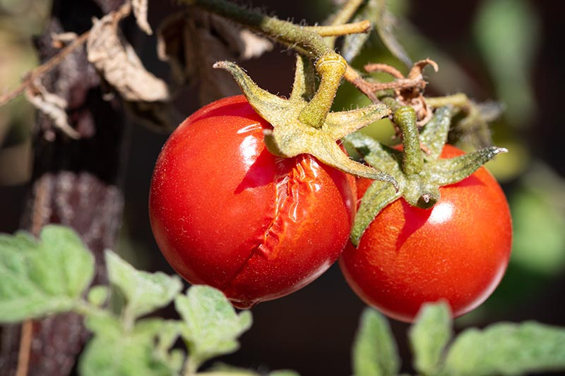 A close up of two tomatoes on the vine, one of which has a large crack running down the skin from the stem end, pictured in bright sunshine. The background is in soft focus.