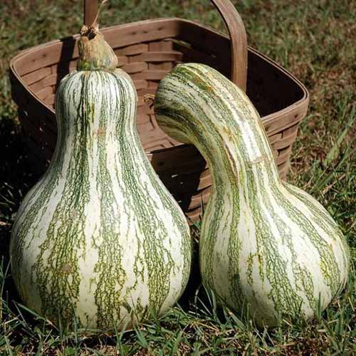 A close up of two 'Cushaw Green Striped' squash with large bulbous base and slim necks set on the ground with a wicker basket in the background.