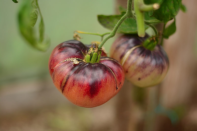 A close up of the ripe fruit of a dark red heirloom tomato, growing in the garden pictured on a soft focus background.
