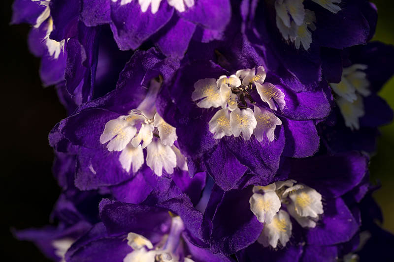 A close up of deep purple delphinium flowers with a white center, pictured on a dark soft focus background.
