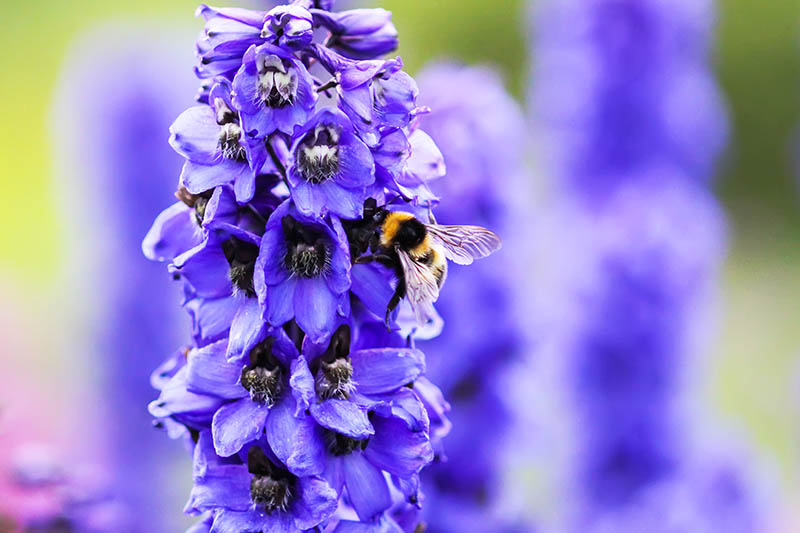 A close up of a bright purple flower with a bee feeding, pictured in light sunshine on a soft focus background.