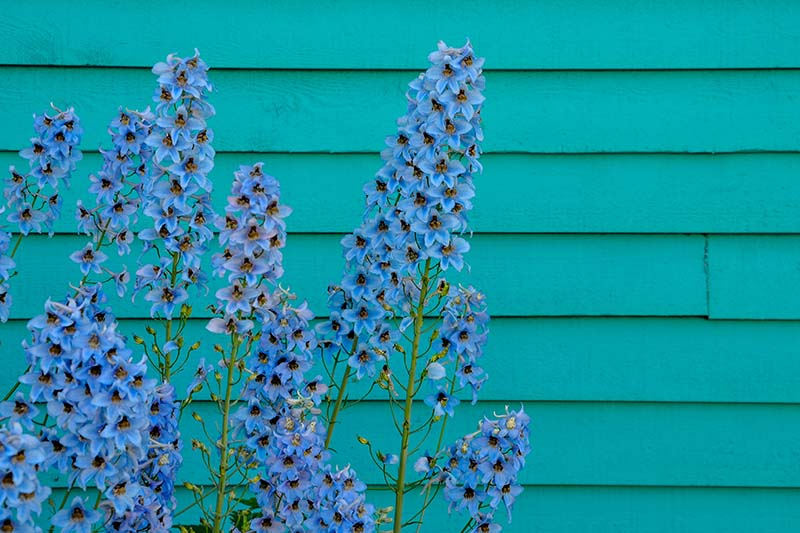 A close up of bright blue delphiniums growing in front of a teal wooden house.