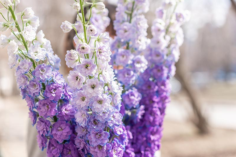 A close up of light purple bicolored delphiniums in a vase, pictured on a soft focus background.