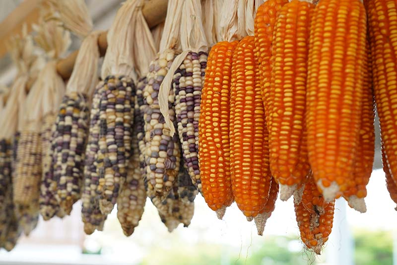 A close up of different varieties of Zea mays hanging up to dry out, to the right of the frame the kernels are orange and to the left of the frame is yellow and dark kernels, pictured on a soft focus background.