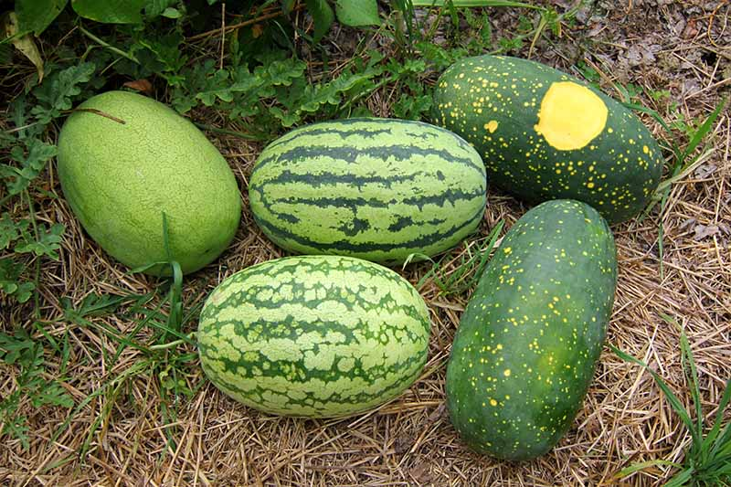 A close up horizontal image of five different watermelons in various shades of green, set on straw mulch in the garden, with foliage in soft focus in the background.