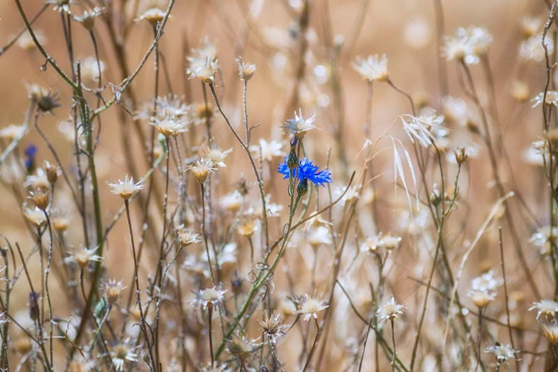 A close up horizontal image of dried cornflowers growing in meadow on a soft focus background.