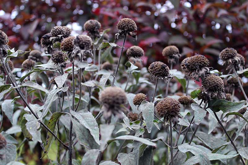 A close up of the dried seed heads of a patch of Monarda plants growing in the garden.