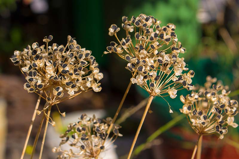 A close up of the dried seed heads of Allium schoenoprasum pictured in light sunshine on a soft focus background.