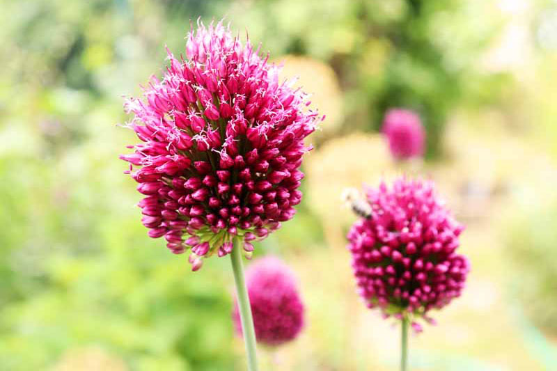 A close up of bright pink A. sphaerocephalon flower heads pictured in bright sunshine on a soft focus background.