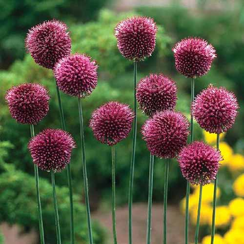 A close up of dark purple drumstick alliums growing on tall green stems growing in the garden on a soft focus background.