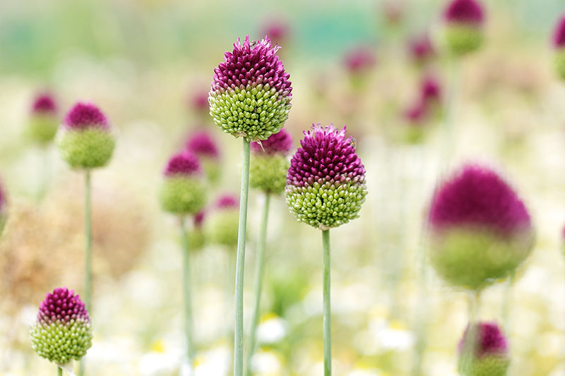 A close up of drumstick allium flower heads in green and purple growing in the summer garden, pictured on a soft focus background.