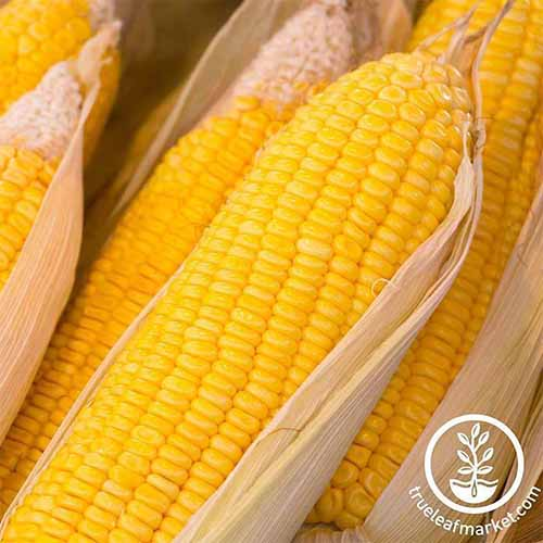 A close up of Zea mays 'Early Sunglow' with the husks pulled back to reveal the bright yellow kernels. To the bottom right of the frame is a white circular logo with text.