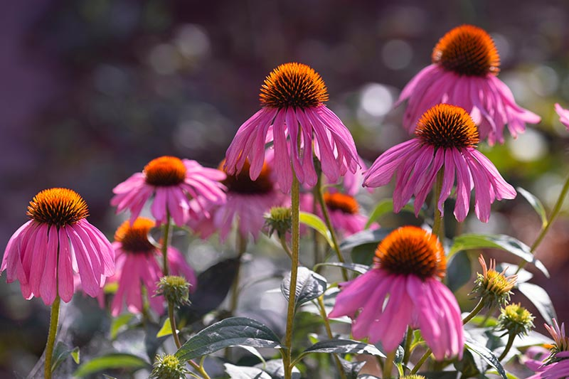 A close up of pink echinacea flowers growing in the garden in bright sunshine, pictured on a soft focus background.