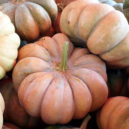 A close up of 'Fairytale' pumpkins with deeply ribbed, light orange skin.