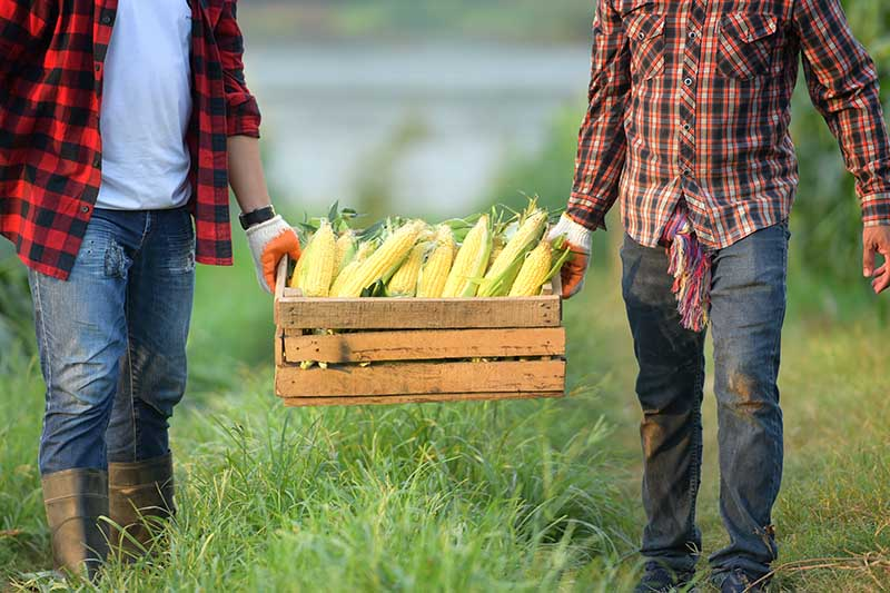 Two men holding a wooden crate between them containing freshly harvested Zea mays walking in a grassy field.