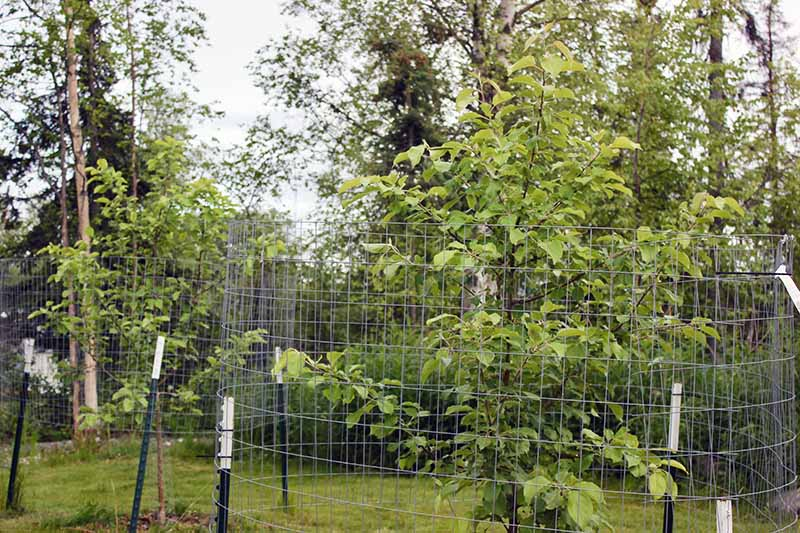 Young apple trees with wire fences around them to prevent damage from moose in an Alaskan garden.