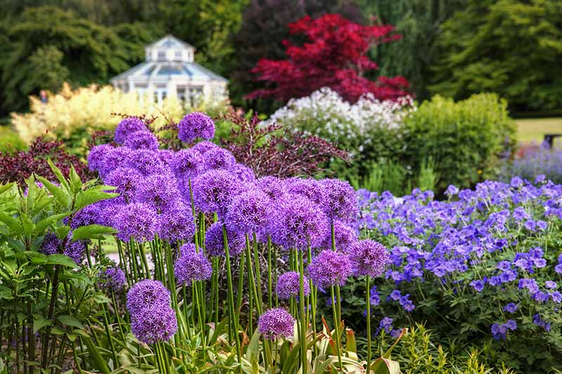 Purple flowering alliums growing in a botanical garden with trees and a building in soft focus in the background.