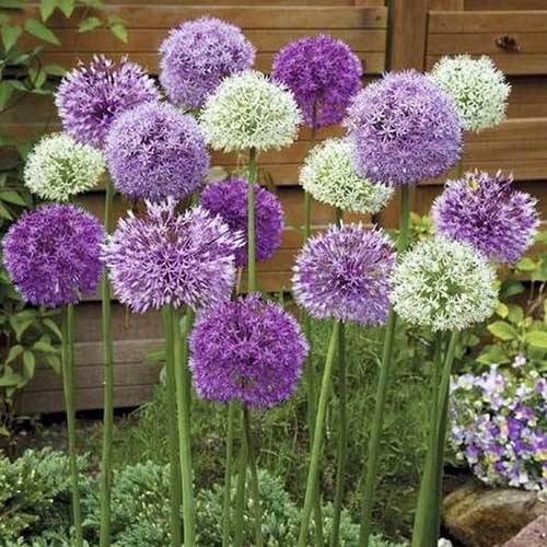 A close up of purple and white flowering alliums with a wooden fence in the background.