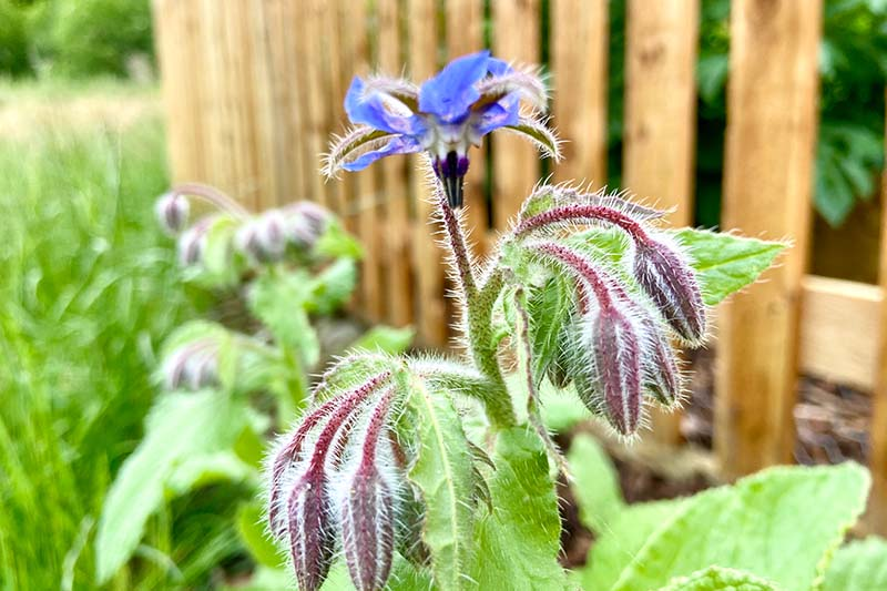 A close up of a Borago officinalis plant growing in front of a wooden fence in the summer garden, with blue star-shaped flower and unopened buds.