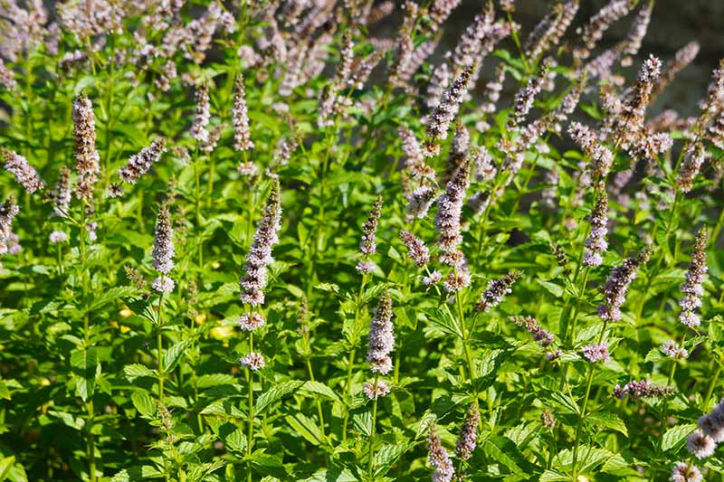 A close up of a large clump of Mentha spicata with tall purple flower spikes, pictured in bright sunshine.