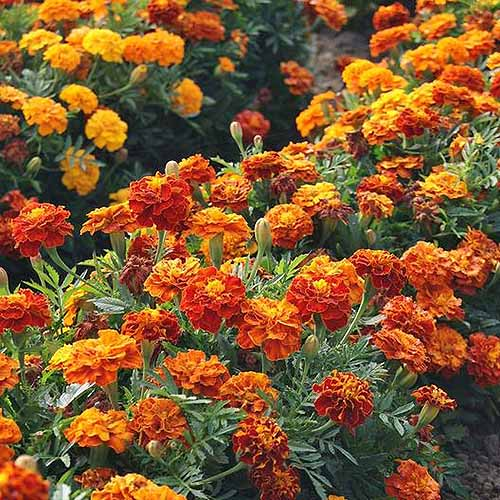 A close up of a swath of bright orange French marigolds growing in the late summer garden.