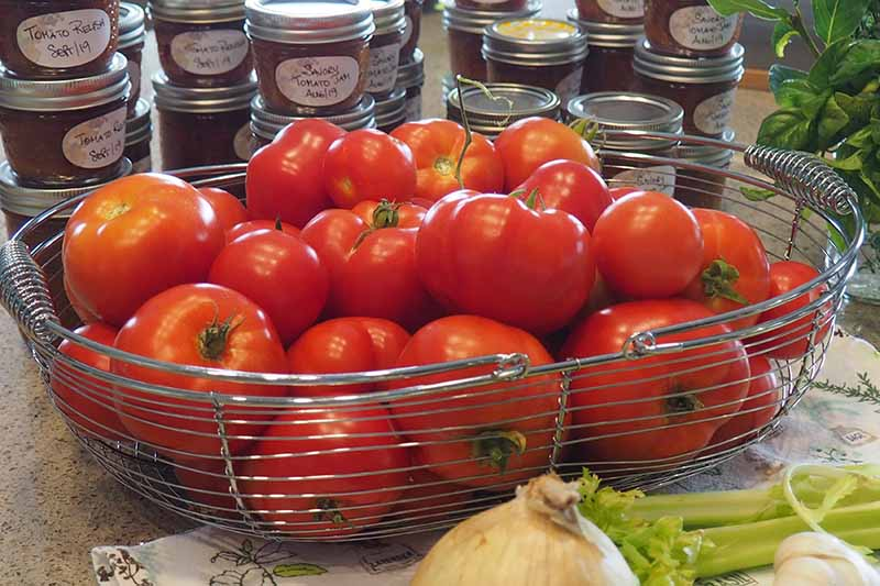A close up of a metal basket with freshly harvested tomatoes, set on a kitchen counter, with tins of homemade jam in the background.