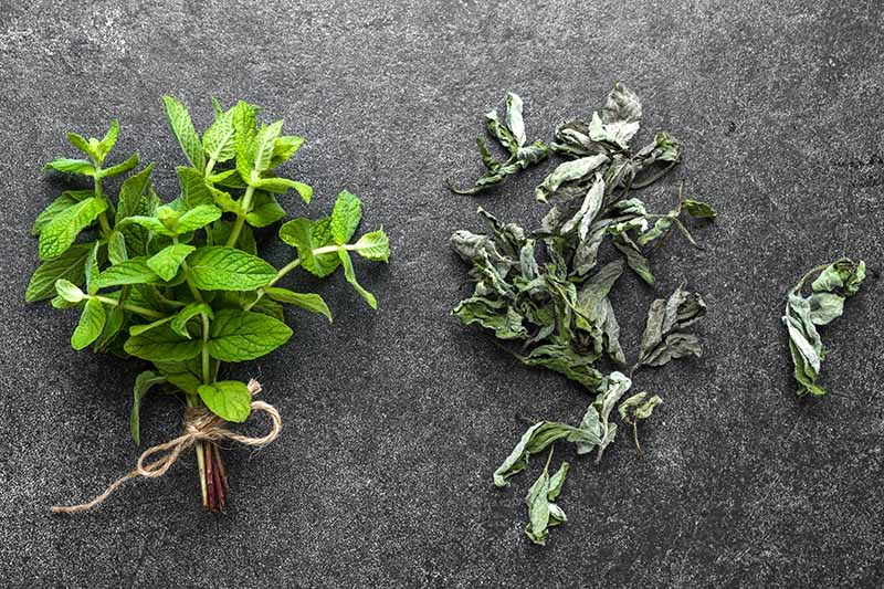 A close up of a fresh bunch of herbs tied together with string, and to the right the dried leaves, set on a a gray surface.
