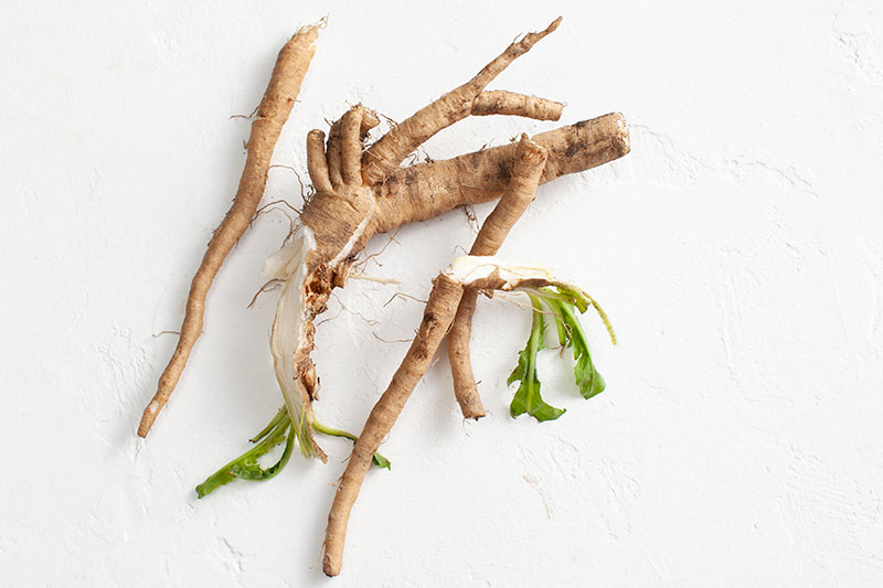 A close up top down picture of freshly harvested Cichorium intybus roots set on a white surface.