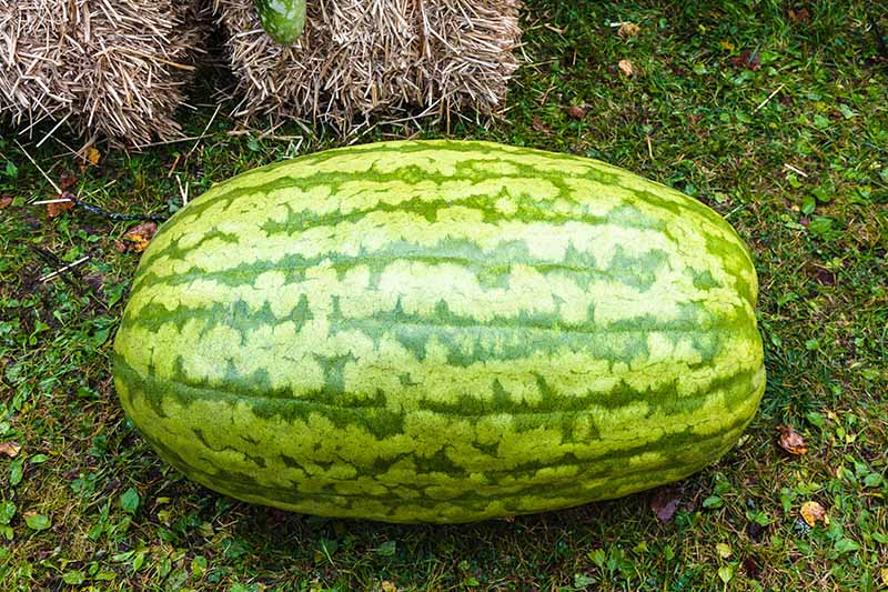 A close up of a large, oblong watermelon, with mottled green skin, set on a grassy surface with straw bales in soft focus in the background.