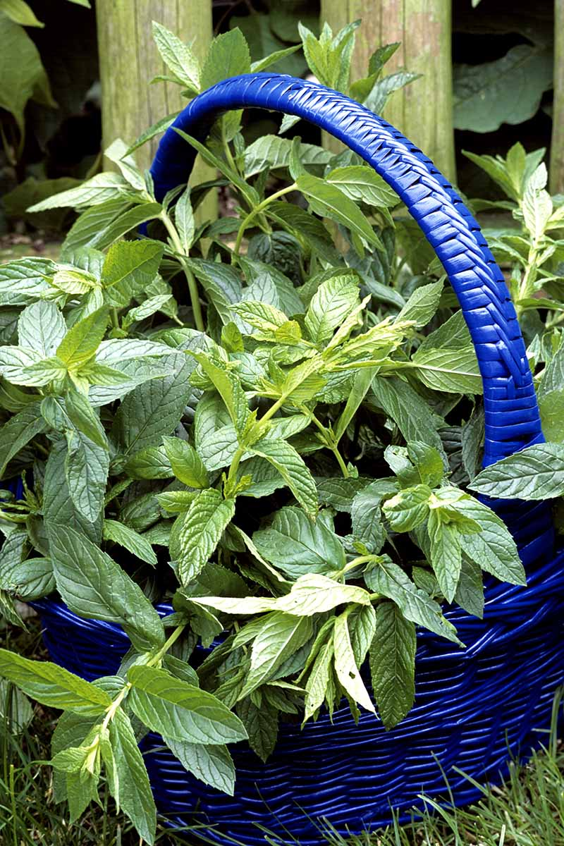 A close up of a blue wicker basket with a bunch of freshly harvested peppermint stems and leaves, set on grass with a wooden fence in the background.