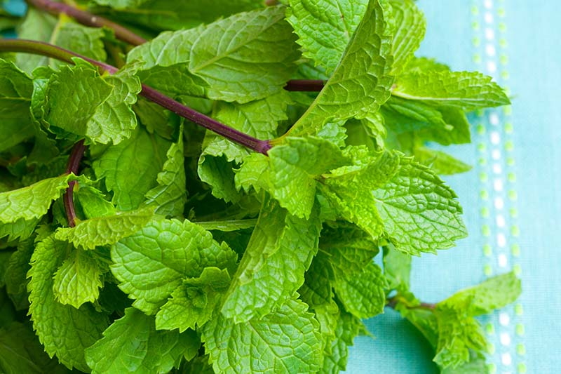 A close up of a bunch of peppermint, freshly harvested and set on a blue surface.