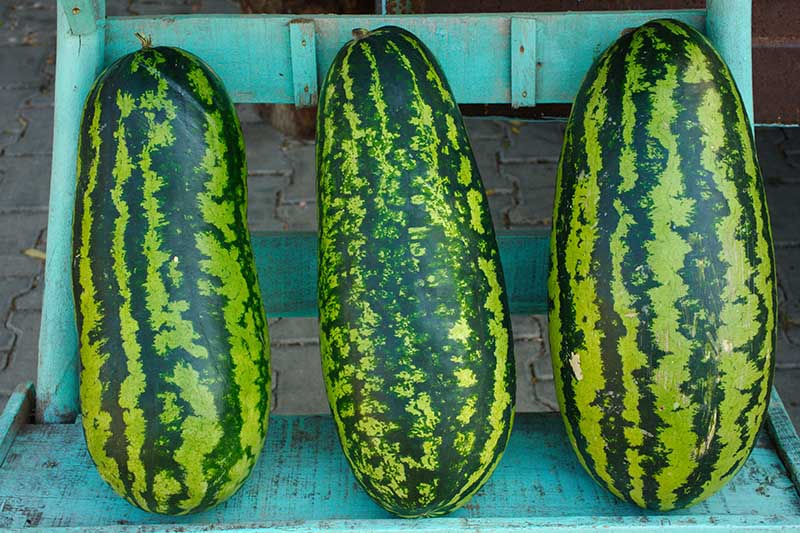 A close up of three large oblong watermelons with mottled green skin set on a blue wooden chair with a brick wall in the background.