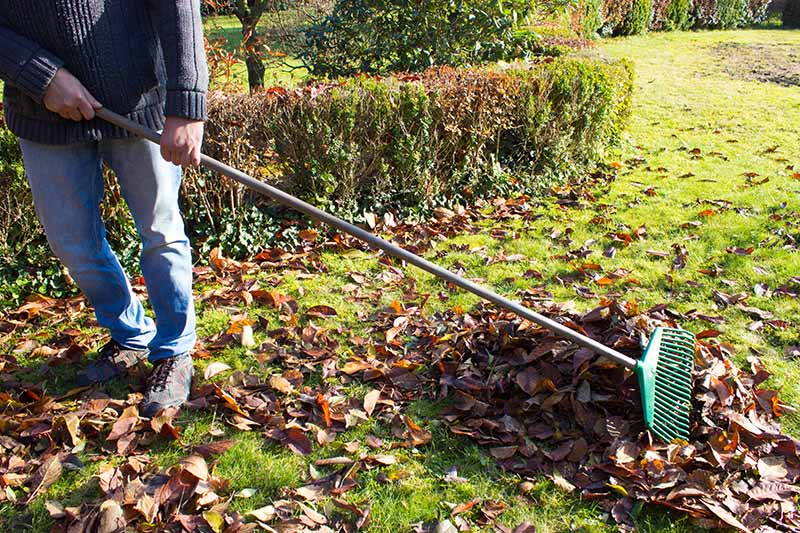 A gardener raking autumn leaves off the lawn in the fall garden, pictured in light sunshine.