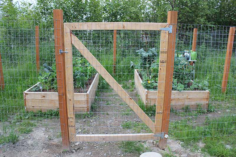 A DIY wooden gate made from timber and wire mesh to keep moose out of a vegetable garden. In the background are raised vegetable beds in soft focus.