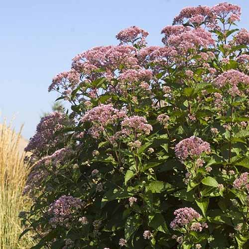 A close up, square image of joe pye weed growing at the edge of a field with blue sky in the background.