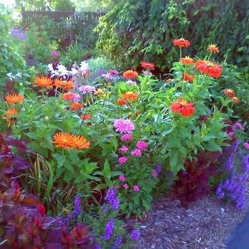 A cottage garden with a clump of 'Giant Cactus' zinnias on a soft focus background.