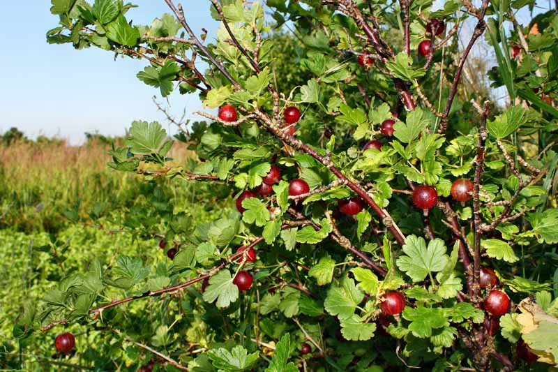 A close up of a large bush with ripe red gooseberries growing in the garden with blue sky in the background.