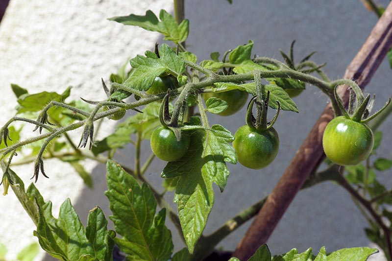 A close up of a small staked green cherry tomato plant, pictured on a soft focus background.