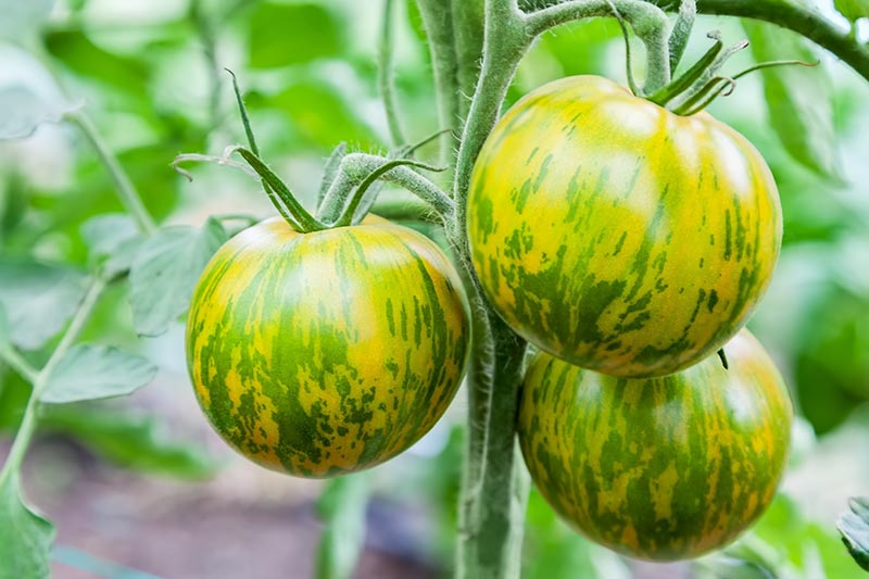 A close up of 'Green Zebra' tomatoes, with green and yellow striped skin, growing in the garden, pictured on a soft focus background.