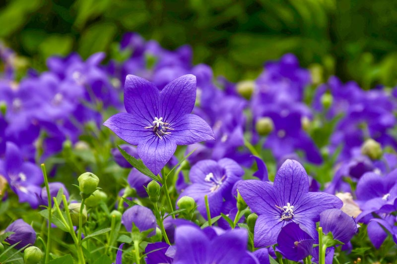 A field of bright blue Platycodon grandiflorus growing in the sunshine, fading to soft focus in the background.