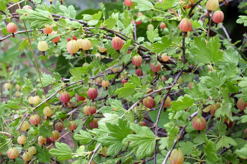 A close up of a gooseberry shrub growing in the garden on a soft focus background.