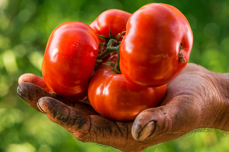 A close up of a hand covered in earth, holding four bright red tomatoes, pictured in light sunshine on a green soft focus background.