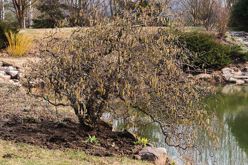 A horizontal image of a Corylus avellana with winding, twisted branches growing next to a lake with trees in soft focus in the background.